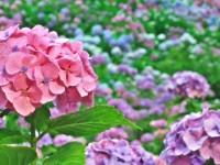 紫陽花の景色