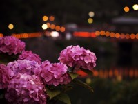 夜灯の六月花