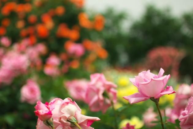 薔薇の彩り