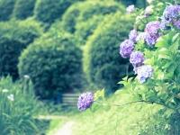 紫陽花のお辞儀