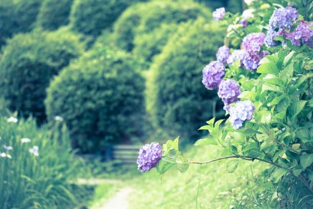 紫陽花のおじぎ