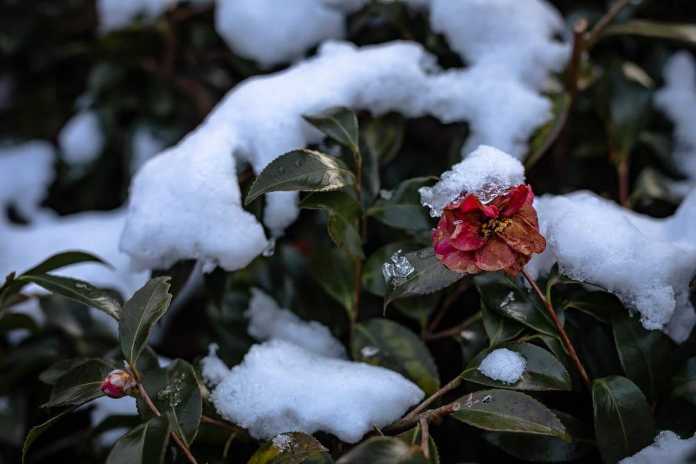 朱の雪化粧